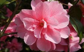 Картинка цветок, розовый, ветка, весна