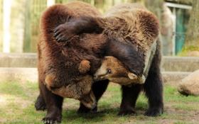Обои фон, медведи, зоопарк