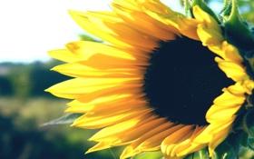 Картинка поле, макро, подсолнухи, цветы, поля, растения, утро