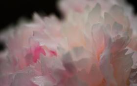 Картинка цветок, макро, пион