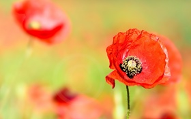 Картинка цветы, мак, маки, красные