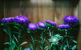 Обои цветы, лепестки, астры