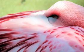 Обои птица, фламинго, розовый