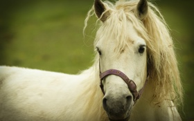 Картинка морда, грива. фон, белая, лошадь