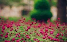 Обои поле, цветы, природа, обои, поляна, картинки, растения