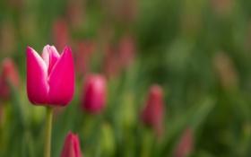Обои цветок, природа, тюльпан
