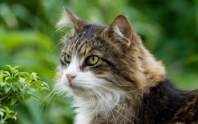 Обои природа, взгляд, кошка