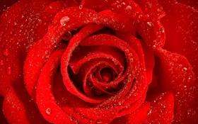 Обои капли, макро, роза, лепестки, бутон