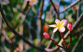 Картинка макро, Цветок, flower, Plumeria, Tri-color, the Sunset