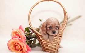 Обои цветок, корзина, щенок, flower, puppy, basket