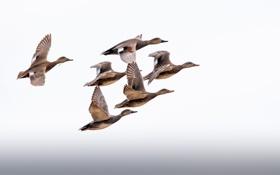 Картинка крылья, полет, утки, небо, миграция