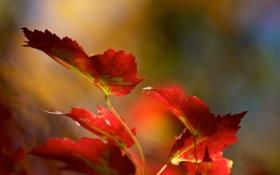 Картинка листья, ветка, красные, осенние