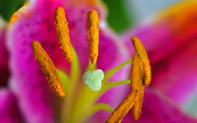 Картинка цветок, пыльца, лепестки, тычинки