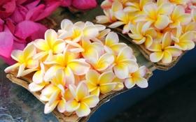 Обои цветы, капельки, box, flowers, коробочка, drops