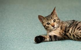 Обои кошка, котенок, пол, полосатый, котэ