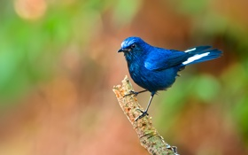 Картинка фон, птица, ветка, синяя