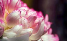 Картинка белый, цветок, макро, розовый