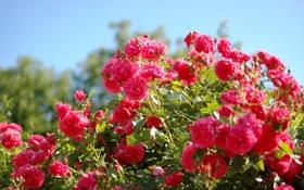Обои розы, алые, розовые, куст, лето, красота