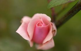 Обои цветок, листья, розовая, роза, бутон