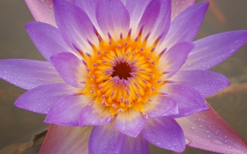 Обои цветок, лотос, серединка