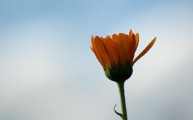 Обои цветок, небо, фон, календула, макро, бутон