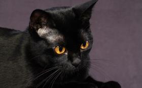 Обои кошка, взгляд, морда, чёрный кот