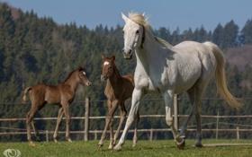 Обои лето, кони, лошади, семья, бег, грива, трио