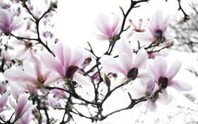 Обои ветки, дерево, весна, магнолия