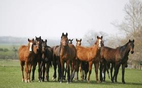 Картинка поле, трава, кони, лошади, табун