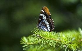 Обои макро, бабочка, ветка, хвоя