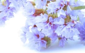 Обои цветы, нежность, лепестки, хрупкость