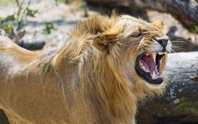 Обои морда, злость, хищник, лев, ярость, пасть, грива