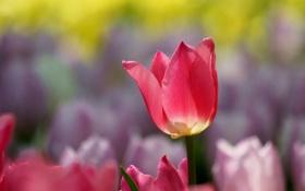 Обои макро, природа, розовый, тюльпан, весна