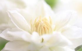 Обои цветок, макро, лепестки, белій, климатис