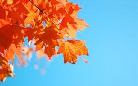 Обои небо, листья, голубой, клен