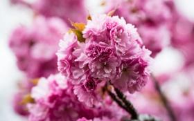 Картинка макро, розовый, Цветок, flower
