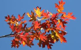 Картинка багрянец, листья, осень, небо, ветка
