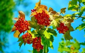 Обои небо, листья, ягоды, ветка