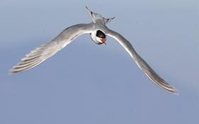 Обои небо, полет, птица, крылья, крачка