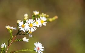 Картинка цветок, растение, ветка, лепестки, ромашка