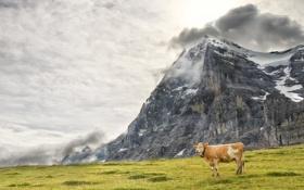 Обои природа, гора, корова
