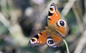 Обои бабочка, крылья, насекомое, павлиний глаз