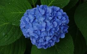Обои листья, куст, синяя, цветки, гортензия
