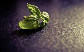 Обои листья, растение, photographer, пряность, базилик, markus spiske
