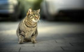 Картинка фон, морда, усы, взгляд, кошка