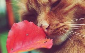 Обои рыжий, кошак, лист, котяра, усы