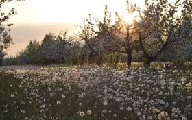 Обои яблони, одуванчики, сад, природа