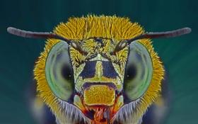 Картинка глаза, насекомое, голубая ленточная пчела