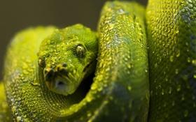 Обои змея, питон, зеленый, чешуя