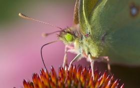 Обои цветок, бабочка, крылья, насекомое, мотылек